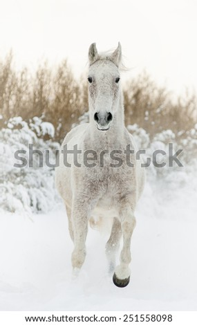 grey arabian horse in winter runs front view - stock photo