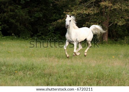 Grey Arabian stallion running in pasture.