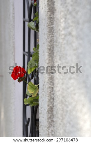 Grey bare exterior wall with part of black forged fence and one fresh plant with green leaves and red flower sunny day outdoor closeup copyspace, vertical picture - stock photo