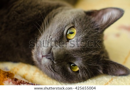 Grey beautiful fluffy cat attentively looks at you. - stock photo