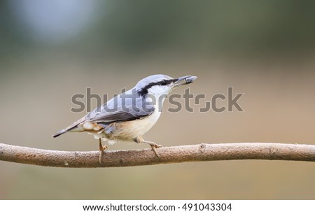 grey bird is a nuthatch on a branch with a seed in its beak