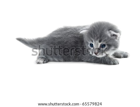 grey blue kitten closeup isolated over white shallow dof