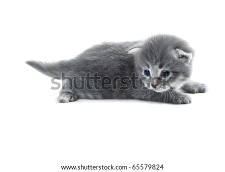 grey blue kitten closeup isolated over white shallow dof - stock photo