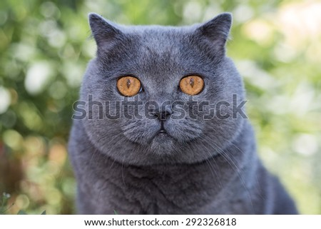 Grey british cat lying in the green grass, background, cute funny cat close up, young playful cat on a bed, domestic cat, relaxing cat, cat resting, cat playing at home, elegant cat - stock photo