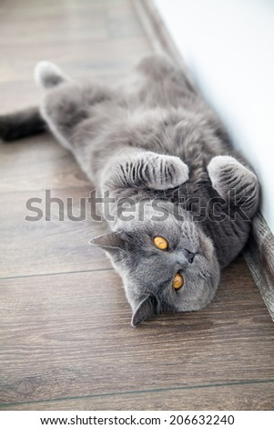 grey british cat with orange eyes lying on a floor - stock photo