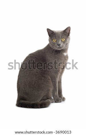 Grey British Short-haired cat sitting down and look into the camera - stock photo