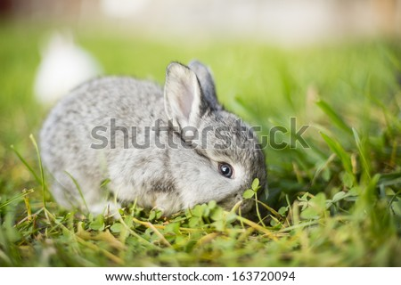 grey bunny eating grass - stock photo