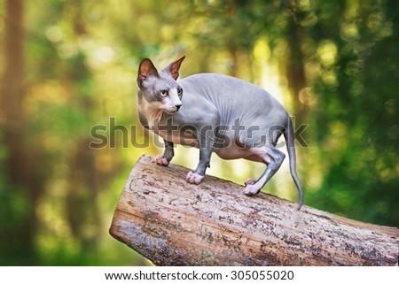 grey canadian sphynx cat outdoors - stock photo