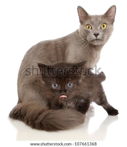 Grey cat and black kitten - stock photo