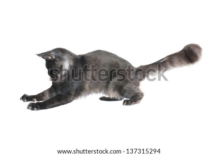grey cat catches prey, isolated on white background - stock photo