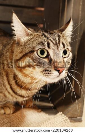 Grey cat in wooden box - stock photo