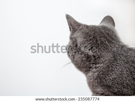 Grey cat looking back, neutral background - stock photo