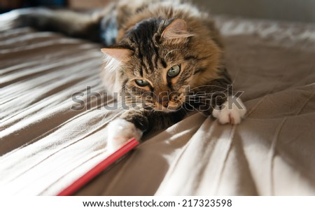 Grey cat lying on bed and plaing with stick - stock photo