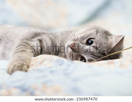 Grey cat lying on bed, tired kitten over blur background, dreaming cat, kitten, cat - stock photo