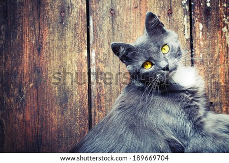 Grey cat lying on wooden background - stock photo