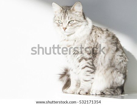 grey cat of siberian breed, female adult