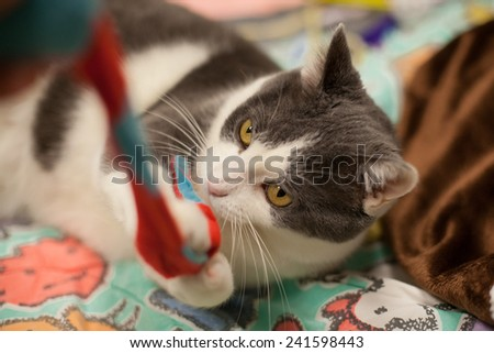 Grey cat plays with toy