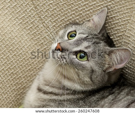 Grey cat portrait close up, domestic cat portrait, cat in romantic mood, romantic cat, domestic animal, domestic cat in natural blurry background, cat looking up, square photo - stock photo