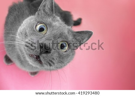 grey cat sitting on the pink background looking at camera - stock photo
