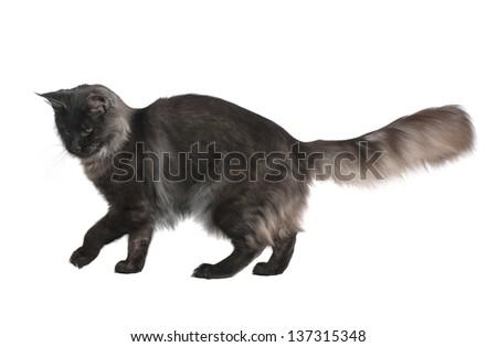 grey cat walking. isolated on white background - stock photo