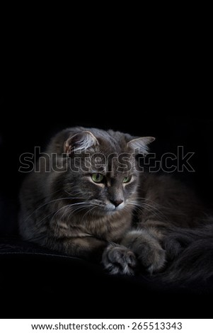 Grey cat with green eyes sitting on a chair isolated on a black background.