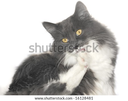 Grey cat with orange eyes over white background