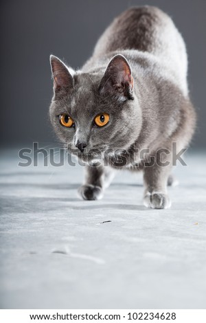 Grey Chartreux cat with yellow orange eyes isolated on grey background. Studio shot. Origin from France. Beautiful pet. - stock photo