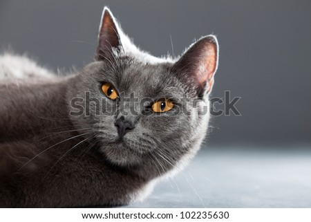 Grey Chartreux cat with yellow orange eyes isolated on grey background. Studio shot. Origin from France. Beautiful pet.