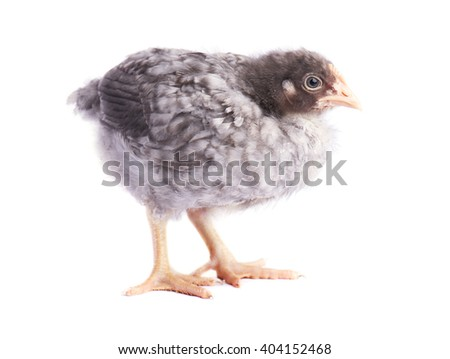 Grey chicken isolated on white background - stock photo