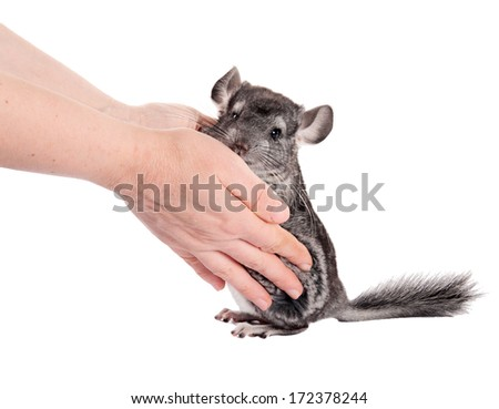 Grey chinchilla and human hands.  isolated.  - stock photo