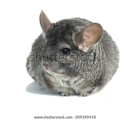 Grey chinchilla. isolated. - stock photo