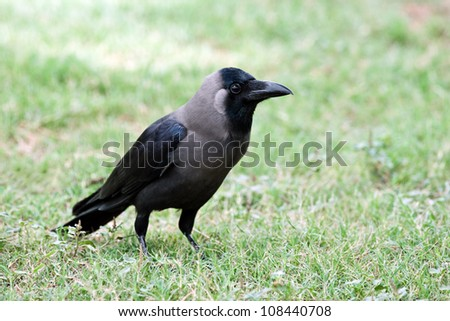 grey crow on green grass