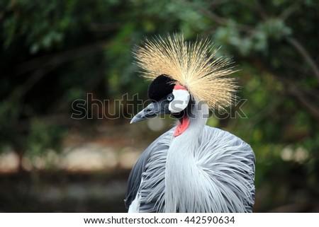 Grey crowned crane - stock photo