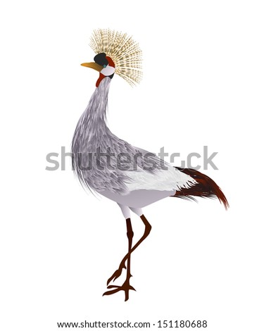 Grey crowned crane against white background