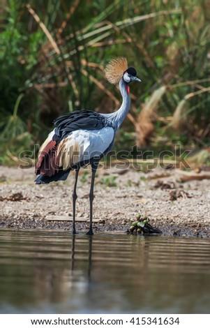Grey crowned crane (Balearica regulorum)  in the savannah of Kenya, Africa - stock photo
