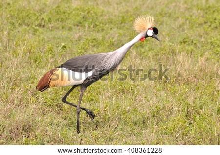 Grey Crowned Crane, bird, Africa - stock photo