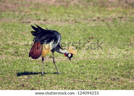 Grey Crowned Crane. The national bird of Uganda, it appears in its coat of arms. Photo taken in Tanzania, Africa.