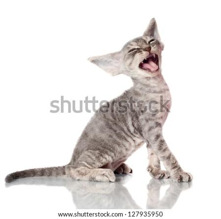 grey devon rex kitten meowing - stock photo