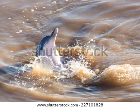 Grey dolphin in the amazon river - stock photo