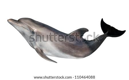 grey dolphin isolated on white background - stock photo