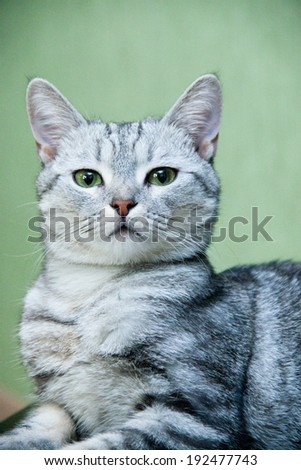 Grey domestic cat