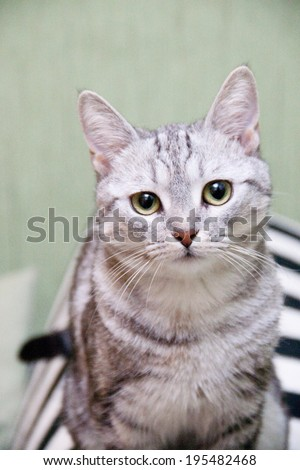 Grey domestic cat sitting on the bed