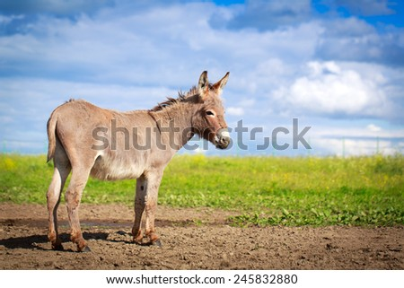 Grey donkey - stock photo
