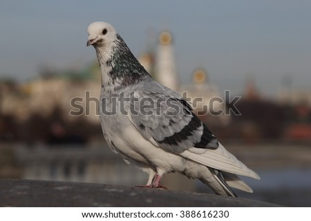 Grey dove close in Moscow, year 2016