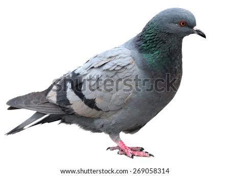 Grey dove isolated on a white background. Feral Pigeon - stock photo