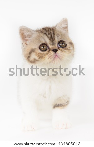 Grey exotic Shorthair kittens on white background