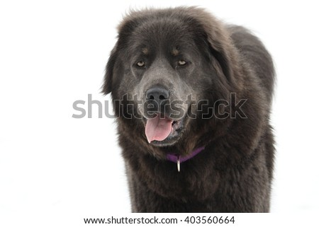 Grey Faced Mixed Breed