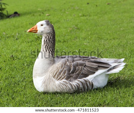 Grey feathered goose sitting on green grass