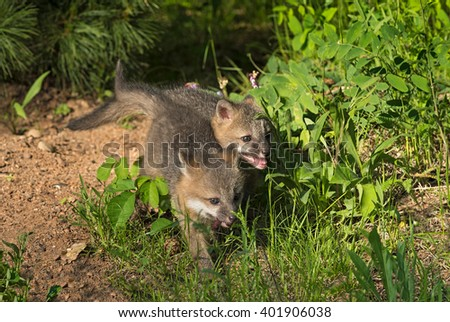 Grey Fox Kits (Urocyon cinereoargenteus) Run Through Grass - captive animals