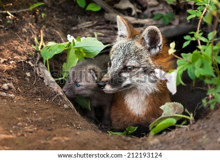 Grey Fox (Urocyon cinereoargenteus) and Kit Peer out of Den - captive animals - stock photo